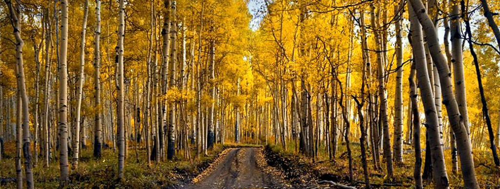 golden-aspen-leaves