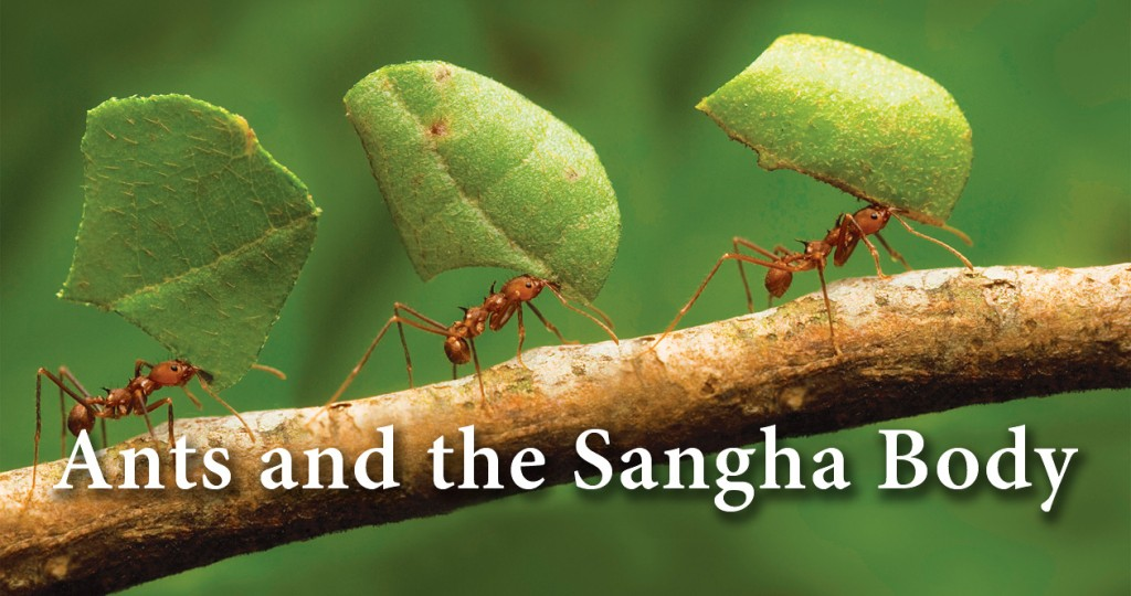 Ants and the Sangha Body